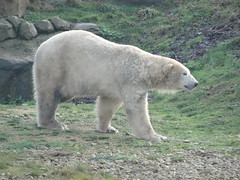 Pixel 😃 (LadyRaptor) Tags: yorkshirewildlifepark yorkshire wildlife park doncaster ywp nature outdoors winter time grass hill mound rock rocks rocky walk walking patrol patrolling stroll strolling smile smiling cute animal animals predator carnivore caniformia ursidae polarbear polarbears male polar bear bears ursus maritimus projectpolar pixel