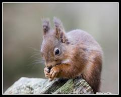 IMG_0131 Red Squirrel (Scotchjohnnie) Tags: redsquirrel sciurusvulgaris squirrel squirrelphotography mammal rodent wildanimal wildlife wildlifephotography wildandfree nature naturephotography canon canoneos canon7dmkii canonef100400f4556lisiiusm scotchjohnnie
