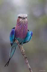 Lilac-breasted Roller -6272 (Theo Locher) Tags: birds coraciascaudatus gewonetroupant lilacbreastedroller oiseaux vogels vögel krugernationalpark kruger zuidafrika southafrica copyrighttheolocher
