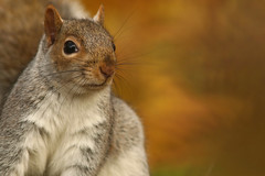 "Grey In The Park ""Explored"" (Derbyshire Harrier) Tags: 2018 greysquirrel museumgardens yorkshire autumn september york november sciuruscarolinensis explore explored"
