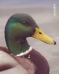 I have two edits of this this beautiful fuck which one do you prefer?? • • • • • #birds #duck #birdsofinstagram #ducks #bird #waterfowl #birdwatching #ente #birdphotography #your_best_birds #birding #duckhunting #birdstagram #duckling #duckie #ducklings # (justin.photo.coe) Tags: ifttt instagram i have two edits this beautiful fuck which one do you prefer • birds duck birdsofinstagram ducks bird waterfowl birdwatching ente birdphotography yourbestbirds birding duckhunting birdstagram duckling duckie ducklings mallard ducksofinstagram pato nutsaboutbirds goose wildlifephotography kingsbirds bestbirdshots justinphotocoe