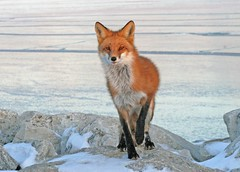 The Ice King (marylee.agnew) Tags: red fox vulpes nature ice lake frozen wildlife animal outdoor cold snow