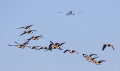 Canadian Geese approaching Wyandotte Runway 1N; SW Airlines approaching MKCI Runway 19R (Lynn Tweedie) Tags: sigma150600mmf563dgoshsm sky swairlines snowgeese wyandottecountylake canon 7dmarkii