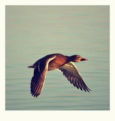(vegeta25) Tags: polaroid duck fly flying repülés bird kacsa víz water mothernatureatherbest mothernature