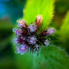 Mentha (Mellisapix) Tags: cleanse refreshing cool dewdrops dew taste plants variety ingredients natural nature medicine edible fleur floret petal plant purple green herbaceous perennial herb flower arvensis mentha freshness fresh minty mint wildflowers