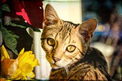 Xaml (Shastajak) Tags: xaml bengal kitten boy hisnameisaprogramminglanquage pronouncedzamal topaztextures sliderssunday hss 5monthsold