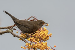 Female Blackbird (cazalegg) Tags: blackbird bird nature berrioes yellow nikon wildlife keswick lake district
