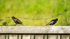 Not talking to you! (gravelben) Tags: starling bird nz funny anthropomorphic