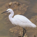 Egret, Plover Cove Country Park, Hong Kong