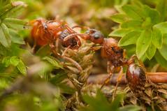 Myrmica ruginodis gynes (Michal Kukla) Tags: insecta hymenoptera formicidae myrmicinae myrmica ant ants insect macro wild widlife macrophotography animal animals invertebrates