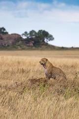 Serengeti Leopard (Jill Clardy) Tags: africa tanzania vantagetravel safari 201902239l8a0121 serengeti national park leopard spotted termite mound hill savanna veldt
