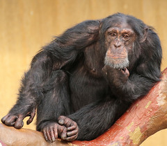 chimpanzee Krefeld 094A0581 (j.a.kok) Tags: chimpansee chimpanzee animal africa afrika aap ape mammal monkey mensaap primate primaat zoogdier dier pantroglodytes krefeld