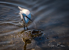 Egret just missed catch and sends up a spray of water drops (Jeffrey Balfus (thx for 3.3 Million views)) Tags: baylands birds sonyalpha flowers nature sonyilce6300 sony6300 mirrorless sonyemount sony70400mmf45gssmii egret