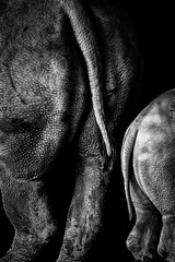 Mother and daughter (edwardjnorton) Tags: animal bw blackandwhite child mother parent parenting singapore singaporezoo zoo animals babyrhino bottoms edwardjnorton fineart monochrome monotone rhino rhinoceros rhinos tails