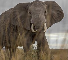 _A130076 (BergsPix) Tags: elephants africa kenya safari amboseli masaai mara samburu tusks mammals