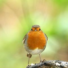 Is it Spring Yet? (northdevonfocus) Tags: birdwatch birds ukgardenbirds biggardenbirdwatch springwatch robin nature robinredbreast wildlife