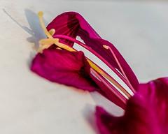 "Iridescent Petals (risaclics) Tags: iridescent macro mondays plant 50mm18macro january2019 nikond610 minimalism ""picktwo"" macromondays"