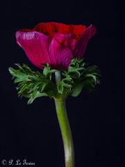 Anémone 02 (letexierpatrick) Tags: fleurs fleur flower flowers france europe explore colors couleurs couleur anémone floraison nature nikond7000 nikon