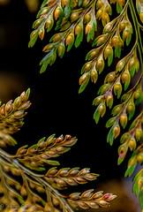 Wet Ferns 1 (stephencurtin) Tags: fern wet winter plant
