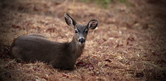braving the winds-1 (fromkmr) Tags: deer blacktailmuledeer inthegarden vintageminolta minolta80200hsapo sonya99ii inexplore