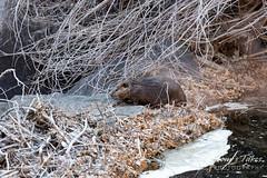 Beaver climbing around