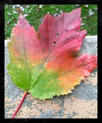 Fall Maple Leaf in Traffic Light Colors (markdavidsmom) Tags: stilllife beautiful fall autumn leaf leaves maple green yellow red trafficlight