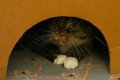 Gracie 11 October 2018 1231Ri 4x6 (edgarandron - Busy!) Tags: gracie patchedtabby cat cats kitty kitties tabby tabbies cute feline