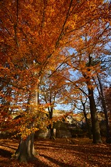 Mega-Autumn this year! (Tobi_2008) Tags: herbst autumn fall bäume trees farbe color sachsen saxony deutschland germany allemagne germania