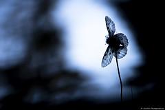 _DSC9037 (JimDel Photographies) Tags: papillon bokeh butterfly montagne macro macrophotography proxy proxyphotography pralognan envol épuré naturebeauty nature naturephoto apollon wildlife wildlifephoto