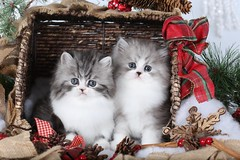 Doll Face Persian Kittens (dollfacepersiankittens.com) Tags: cutekittenpictures persian kittens doll face pretty cats sweet christmas catsofinstagram kittensofinstagram catlovers catsofgoogle catsoftumblr catsofig pets prettykitty