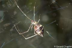 Dewdrop Spider (Argyrodes sp.) (GeeC) Tags: animalia arachnida araneae araneomorphae argyrodes arthropoda cambodia cobwebweavers dewdropspiders kohkongprovince nature spiders tatai theridiidae truespiders