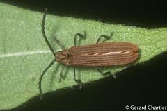 Net-winged Beetle (Lycidae) (GeeC) Tags: animalia arthropoda beetles cambodia clickbeetles coleoptera elateroidea insecta kohkongprovince lycidae nature netwingedbeetles tatai khumruesseichrum kh