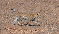 Chiphadzuwa on the move (Tris Enticknap) Tags: africa zambia cat southluangwa africanleopard leopard pantherapardus pantheraparduspardus