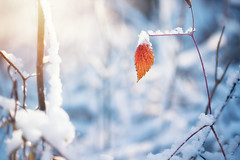 Last one (Pásztor András) Tags: nature winter snow sun light leaf forest foliage tree white red yellow dof blur background detailed details dslr full frame nikon d700 hungary andras pasztor photography sigma 70300mm