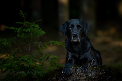 Buddy (Flemming Andersen) Tags: labrador pet nature dog black outdoor buddy hund animal nørresnede centraldenmarkregion denmark dk