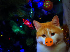 IMGP6518 (PahaKoz) Tags: ёлка котейка котэ кот новыйгод cat tomcat pet animal питомец животное christmas tree newyear рыжий red хрюша piggy пяточок piglet