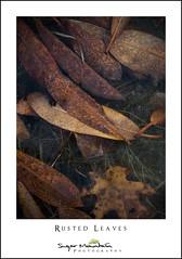 Rusted Leaves (DKNC) Tags: pricelake blueridgeparkway northcarolina nc leaves rhododendron water ice frozen daleking