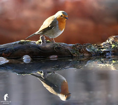 Robin in a reflection (spennells pensioner) Tags: reflection mirror robin redbreast pool log ripples red wings feathers