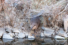 Beaver drags a branch to the water