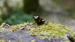 Feuersalamander (Aah-Yeah) Tags: feuersalamander salamander salamandra firesalamander caudata achental chiemgau bayern schwanzlurch