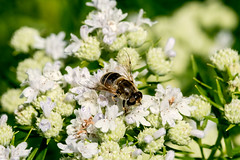 2017 Bee 3 (DrLensCap) Tags: bee weber spur trail labagh woods chicago illinois il bug insect union pacific railroad right way rails to trails cook county forest preserve district preserves robert kramer