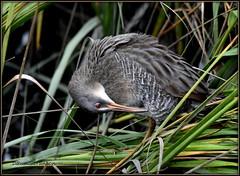 DSC_1754  Clapper Rail (felicitydawn) Tags: bird rails clapperrail marsh