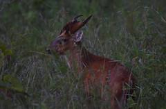 Indian muntjac (praveen.ap) Tags: indianmuntjac barkingdeer deer tadoba moharli