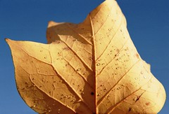 (mari-ann curtis) Tags: 35mm film colour light autumn yellow leaf sunshine droplets dew shadows viens nostalgia memories blue sky golden