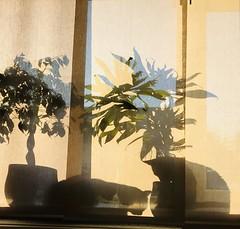 Shadows (Leo Kramp) Tags: schaduw bran deanerys katten poezen shadow cats