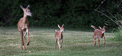 Doe and two fawns...6O3A7996A (dklaughman) Tags: unityvillage missouri doe fawn