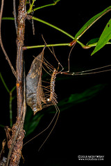 Long-legged centipede (Scutigeridae) - DSC_7735 (nickybay) Tags: singapore chestnutavenue macro scutigeridae longlegged centipede chilopoda myriapoda