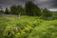 Golden Road (Longleaf.Photography) Tags: iceland farm field fence golden flowers lupine wild nature storm