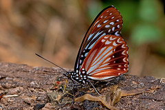 Hestina nama - the Circe (BugsAlive) Tags: butterfly mariposa papillon farfalla 蝴蝶 schmetterling бабочка conbướm ผีเสื้อ animal outdoor insects insect lepidoptera macro nature nymphalidae hestinanama thecirce apaturinae wildlife chiangdaons เชียงดาว chiangmai ผีเสื้อในประเทศไทย liveinsects thailand thailandbutterflies nikon105mm bugsalive ผีเสื้อนามา