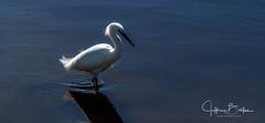Baylands--3 (Jeffrey Balfus (thx for 3.3 Million views)) Tags: baylands birds sonyalpha flowers nature sonyilce6300 sony6300 mirrorless sonyemount fe24240mmf3563osssel24240 sony70400mmf45gssmii egret natureinfocusgroup